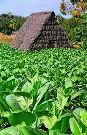 Tobaco Field Vinales Cuba HotelTravelVacation VacacionesReales