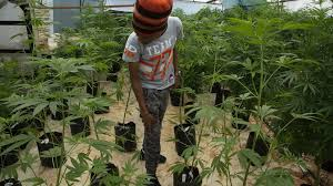 handicap der cannabis kleinbauern im kf gegen die konzerne