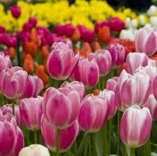 tulip fertilizer how and when to fertilize tulips tulip bulbs