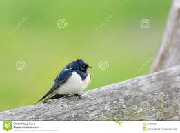 European Barn Swallow Stock Image. Image Of Young, Fence - 67199779 European Barn Swallow Hirundo Rustica Stock Photo Royalty Free Swallow Idaho Birds Audubon Guide To North American Posing On A Fence Of Ukraine Birdwatching Alentejo Portugal Boerenzwaluw Barn Stock Image Image Young 67199779 Detailed Close Up Hinterland Whos Who Or The Uk And Ireland Male Swallows