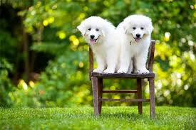 30 Dog Breeds That Shed The Most by Great Pyrenees Dog Breed Information Pictures Characteristics