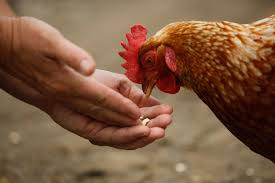 Backyard Chickens Linked To Salmonella Outbreaks, CDC Says - NBC News The 25 Best Salmonella Symptoms Ideas On Pinterest Memes True Pharmacologist Warns That Eggs From Backyard Chickens Pose Chicken Chick Salpingitis Lash Eggs In Backyard Chickens Raising Chickenswhat You Need To Know Penn State Food Safety Blog And The Higher Risk Health Concerns When Tending Tahoetruckee Nationwide Salmonella Outbreak Linked Pet Makes 611 Sick Nbc News Outbreaks 47 States How Not Get Your Chicken