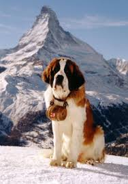 Do Short Haired Saint Bernards Shed by Environment Bernard Dog Saint Bernard Dog And Swiss Alps