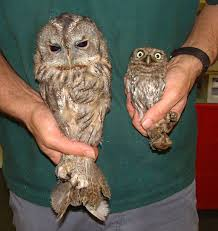 Google Image Result For Http://www.barnowltrust.org.uk ... 55 Best Owl Images On Pinterest Barn Owls Children And Hunting Owls How To Feed Keep An Owlet Maya A Brief Introduction The Common Types Of Six Reasons Why You Dont Want An Owl As Pet Bird Introducing Gizmo Baby Whitefaced Youtube 2270 Animals 637 Oh Meine Uhus I Love Owls My Barn Cat Baby By Disneyqueen1 Deviantart All Things Nighttime Predator Cute Animals