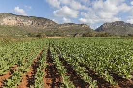 Tobacco Fields In Vinales Cuba On A Partly Cloudy Day Stock Photo