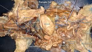 cat digestive system cat dissection digestive system cat pig respiratory digestive