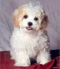 non shedding hypoallergenic hybrid dogs best 25 small non shedding dogs ideas on non shedding