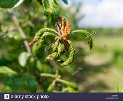 Christmas Tree Aphids aphid damage stock photos u0026 aphid damage stock images alamy
