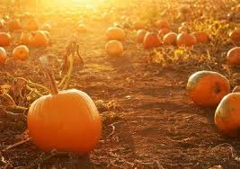 Pumpkin Patches Near Bakersfield Ca by Quacken Farms U Pick Pumpkin Patch Los Olivos Santa Ynez Ca