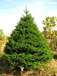 Nordmann Fir Christmas Tree nordmann fir hutton loyd tree farm