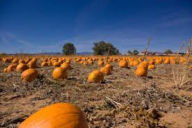 Mccalls Pumpkin Patch Haunted House by This Is The Best Pumpkin Patch In New Mexico To Visit This Fall
