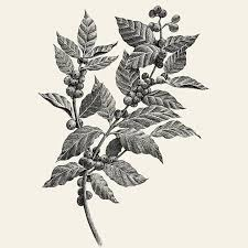 Botanical Illustration Of A Branch Coffee Plant With Leaves