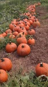 Coconut Grove Pumpkin Patch by Christmas Trees 30 Photos Christmas Trees 8200 Sw 104th St