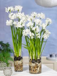 paperwhite bulbs indoor narcissus dutchgrown