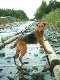Airedale Terrier Non Shedding by 357 Best Airedale Terrier Images On Pinterest Airedale Terrier
