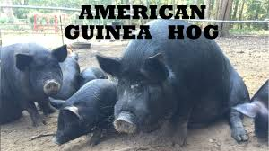 Raising American Guinea Hogs On Our Family Farm & Homestead ... Which Pig Find Your Next Thing Modern Farmer Pigs Pigs And More Pigs Backyard Chickens Raising Feeder Concrete Or Pasture Farm Fresh For Life Figueroa Breeding Gguinto Bulacan Youtube For The First Time Page 2 Pastureraised Pork Grows In Popularity Missippi A Balancing Act Being A Mom Wife Backyard Hogswine Cambodian Case Study Inrgrated Fish Farming The Site How To House Fence Price Of Illinois Poisoned Creeks Yet Limited 223 Best Images On Pinterest Farms