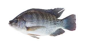 Pros And Cons Of Using Tilapia Aquaponics