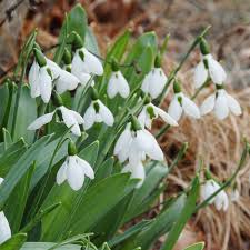 wholesale galanthus snowdrops bulbs farmer gracy wholesale