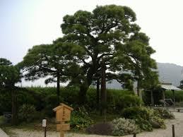 The Famous Japanese Pine Omiya No Matsu In Atami Shizuoka Prefecture Japan It