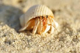 Halloween Hermit Crab Reef Safe by Halloween Hermit Crab