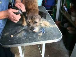 border terrier grooming youtube