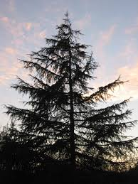 Christmas Tree Types In California by Trees For Reduced Water Use