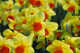 narcissus fortissimo large cupped daffodil