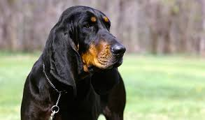 Do Bluetick Coonhounds Shed by Black And Tan Coonhound Dog Breed Information