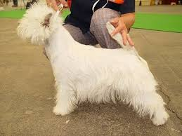 Dogs That Shed Very Little by West Highland White Terrier Dog Breed Information And Pictures