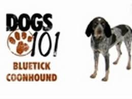 Do Bluetick Coonhounds Shed by Bluetick Coonhound Dog Justadogg