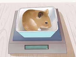 Can Guinea Pigs Eat Cooked Pumpkin Seeds by How To Feed Hamsters 10 Steps With Pictures Wikihow
