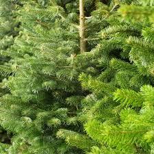 Best Live Christmas Trees For Allergies by Fresh Christmas Trees Peeinn Com