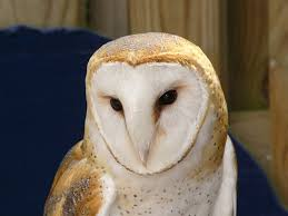 The Online Zoo - Western Barn Owl Watch The Secret To Why Barn Owls Dont Lose Their Hearing 162 Best Owls Images On Pinterest Barn And Children Stock Photos Images Alamy Owl 10 Fascating Facts About Species List Az 210 Birds Drawing Photographs Of Cave By Tyler Yupangco 312 Beautiful Birds