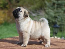 Do Pugs And Puggles Shed by Average Weight Of A Puggle Dipoindexing Com