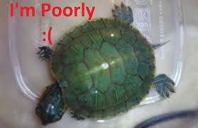 baby red eared slider turtle vet eemrgency metabolic bone disease