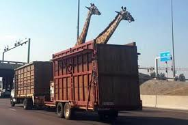 Giraffe In Truck Dies After Hitting Overpass New York Buff Media Truck Driver Pinned After Striking Overpass Hits Overpass Delays Train In Haven Wtnh Bridge Rolls Over On 8th Ave Offramp From I25 Fox31 Flatbed Truck Carrying Box Monroe Heraldnetcom Same Southern State Parkway Struck April Bus Cp Rail Coquitlam Scanbc Twitter Crews Scene With A Crane Hits Route 9 Berlin Nbc Connecticut 100th St Hit Again 4th Time This Year Stuck Under Closes Eries French Street News Nashville Inrstates Close After Semi Tctortrailer Fdr Drive Backs Up Traffic Wpix