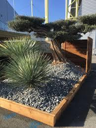 planter un olivier en pleine terre où quand et comment
