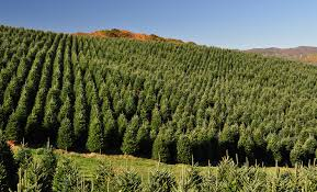 Fraser Fir Christmas Trees Nc by Wholesale Christmas Tree Farm Powers Tree Farm