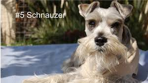 Non Shed Dog Breeds Hypoallergenic by Top 10 Hypoallergenic Dog Breeds Youtube