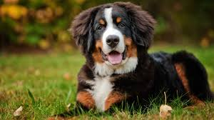 Low Shed Dog Breeds Large by Meet The Breed Bernese Mountain Dog