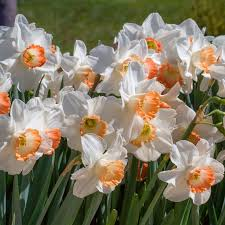 9 best bulbs to order images on daffodils bulb and bulbs