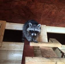 Best Way How To Get Rid Of Raccoons In The Attic Forever - Home ... Time To Start Culling Torontos Nasty Raccoons Hepburn Toronto Star Raccoon Removal Indianapolis Backyard Raccoons Youtube How To Get Rid Of In Your Bathroom Wall Mirrors Cooldesign A Getting Keep Away From Garden Out Yard The Survive And Thrive 65 Animal Statues Decor Wild And Domestic Identify Of In The 11 Strategies For Doityourself Pest Control Family Hdyman