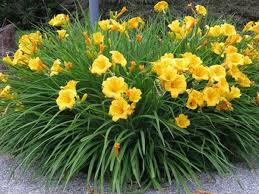 hemerocallis stella d oro daylily late summer landscaping and
