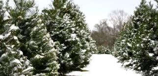 Christmas Tree Farm Near Lincoln Nh by Maine Christmas Tree Association Maine Christmas Trees And