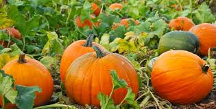 Pumpkin Picking Richmond by Halloween In Vancouver 2017 District Local