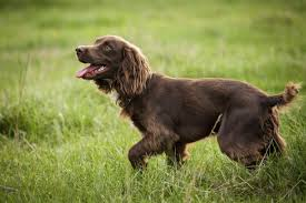 Springer Spaniel Shed Hunting by Bird Hunting Dog Breeds