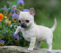 Short Haired Dogs That Shed The Most by Best 25 Small Dog Breeds Ideas On Pinterest Small Dogs Cute