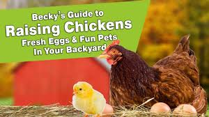 Becky's Guide To Raising Chickens - Fresh Eggs & Fun Pets In Your ... Best Backyard Chickens For Eggs Large And Beautiful Photos 4266 Best Backyard Chickens Care Health Images On Pinterest Raising Dummies Modern Farmer Eggs Part 1 Getting Baby Chicks For 1101 Emma Chicken Breeds And Meat With 15 Popular Of Archives Coffee In The Cornfields Balancing Mrs Simply Southern The Chick Handling Storage Of Fresh From Laying Brown 5 Hens Your