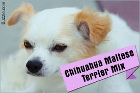 Stop Rat Terrier Shedding by The Good And Not So Good Traits Of Chihuahua Terrier Mix Breeds