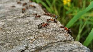 ameisen bekämpfen diese hausmittel helfen in der wohnung